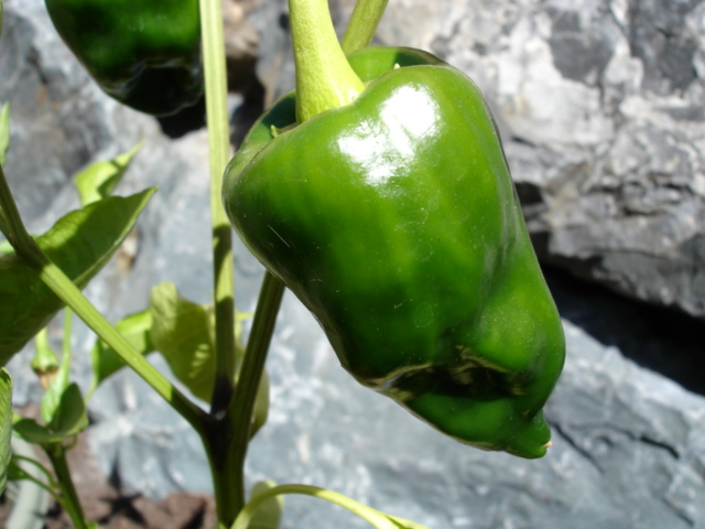 Poblano_Pepper